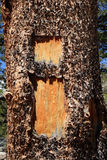 Ardo sull'albero Fotografie Stock Libere da Diritti