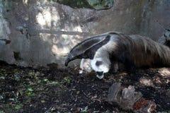 Ardvark anteater, ζωολογικός κήπος Audubon Στοκ εικόνες με δικαίωμα ελεύθερης χρήσης