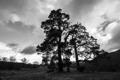 Ardvasar, Szkocja w średniogórzach Szkocja - Czarny & biały sosny sylwetkowe przeciw wieczór niebu wizerunek - Zdjęcia Royalty Free
