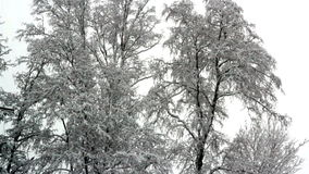The area with big trees are all covered with snow. Winter season makes the area so cold trees are covered with thick snow and snow is still falling stock video footage