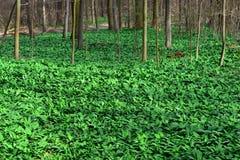 Area boscata di aglio selvaggio Fotografia Stock