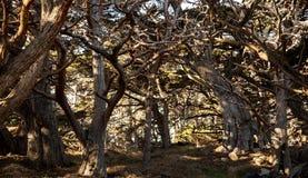 Area boscosa ai Lobos del punto in California immagini stock