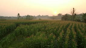 Area the corn field with the sunrise stock footage