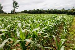 Area del campo di grano in Tailandia Fotografia Stock