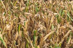 Area del cereale Immagini Stock