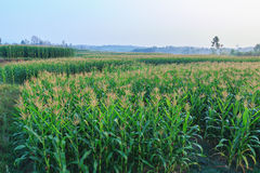 Area del cereale dell'azienda agricola di agricoltura Fotografie Stock