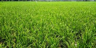 Area del giacimento del riso immagine stock libera da diritti