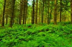 Area della foresta riempita di felci Fotografia Stock Libera da Diritti