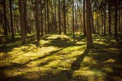 Area della foresta Sputo di Curonian del parco nazionale Fotografia Stock