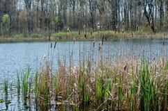 Area della palude su uno stagno nel Michigan U.S.A. Immagine Stock