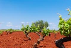 Area della vigna dell'uva bianca sotto il sole fotografie stock libere da diritti