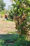 Area di agricoltura del Longan nel Nord della Tailandia Immagine Stock