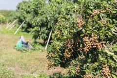Area di agricoltura del Longan nel Nord della Tailandia Fotografia Stock Libera da Diritti