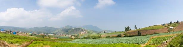 Area di coltivazione del cavolo di panorama Immagine Stock