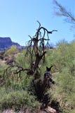 Area di regione selvaggia di superstizione, Maricopa, contea, Arizona, Stati Uniti Fotografia Stock Libera da Diritti
