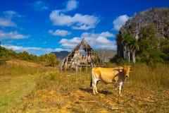 Area famosa del tabacco del terreno coltivabile di Cuba, Valley de Vinales, Cuba Immagini Stock