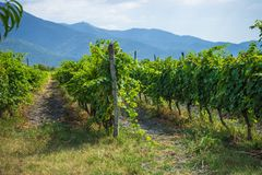 Area georgiana Kakheti del vino Fotografia Stock Libera da Diritti