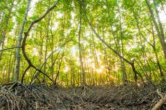 Area mangrove forest in morning of Thailand. Area mangrove forest in morning of countryside Thailand stock photos