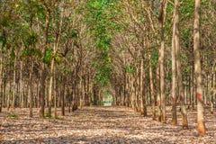 Area of rubber plantation in autumn Stock Photos