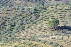 Areal view on an olive grove. Landscape,  Extremadura, Spain stock photos