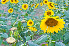 Areas planted with sunflower Stock Images
