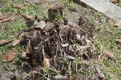 Areca δέντρο κολοβωμάτων catechu Στοκ φωτογραφίες με δικαίωμα ελεύθερης χρήσης