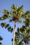 Areca δέντρο catechu Στοκ Φωτογραφία
