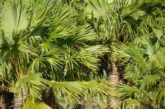 Areca δέντρο catechu Στοκ Φωτογραφίες