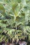 Areca δέντρο catechu Στοκ Εικόνες
