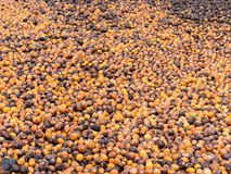Areca ή betel - καρύδια σε Mynmar Στοκ Φωτογραφίες