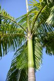 Areca δέντρο catechu Στοκ φωτογραφία με δικαίωμα ελεύθερης χρήσης