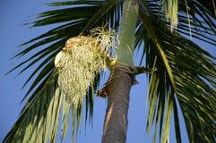 Areca δέντρο catechu Στοκ φωτογραφίες με δικαίωμα ελεύθερης χρήσης