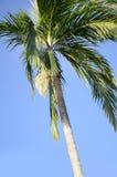 Areca δέντρο catechu Στοκ Εικόνα