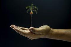 Areca εκμετάλλευσης χεριών φοίνικας catechu Στοκ εικόνα με δικαίωμα ελεύθερης χρήσης