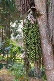 Areca καρύδι, Areca φοίνικας καρυδιών, Areca φοίνικας, betel - φοίνικας καρυδιών, betel - καρύδι Στοκ φωτογραφίες με δικαίωμα ελεύθερης χρήσης