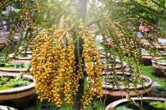 Areca καρύδι ή areca catechu στο δέντρο Στοκ Εικόνα