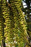 Areca καρύδι ή areca catechu στο δέντρο Στοκ Εικόνες