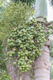 Areca καρύδι ή Areca catechu Στοκ Εικόνες