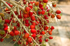 areca κόκκινοι μίσχοι καρυδιών Στοκ εικόνα με δικαίωμα ελεύθερης χρήσης