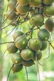 Areca φοίνικας ή betel - φοίνικας καρυδιών μια οικογένεια palmae εγκαταστάσεων Στοκ Φωτογραφία