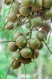 Areca φοίνικας ή betel - φοίνικας καρυδιών μια οικογένεια palmae εγκαταστάσεων Στοκ εικόνα με δικαίωμα ελεύθερης χρήσης