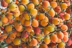 Areca φοίνικας ή betel - φοίνικας καρυδιών μια οικογένεια palmae εγκαταστάσεων Στοκ Φωτογραφίες