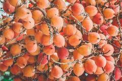 Areca φοίνικας ή betel - φοίνικας καρυδιών μια οικογένεια palmae εγκαταστάσεων Στοκ εικόνες με δικαίωμα ελεύθερης χρήσης