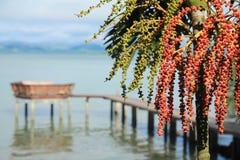 Areca φοίνικας καρυδιών Στοκ Εικόνες