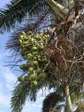 Areca φρούτα φοινικών στον κήπο φύσης Στοκ εικόνες με δικαίωμα ελεύθερης χρήσης