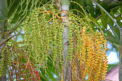 Areca φρούτα φοινικών Στοκ Φωτογραφία