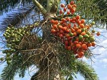 Areca φρούτα φοινικών Στοκ Φωτογραφίες
