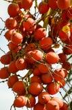 Areca φρούτα catechu στον κήπο φύσης Στοκ φωτογραφία με δικαίωμα ελεύθερης χρήσης