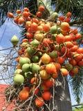 Areca φρούτα catechu Στοκ Φωτογραφίες