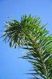 Areca φύλλα φοινικών Στοκ Εικόνα
